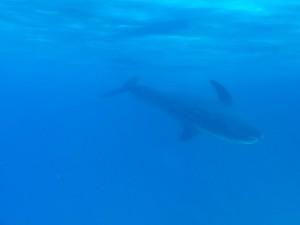 Дельфины в своей естественной среде